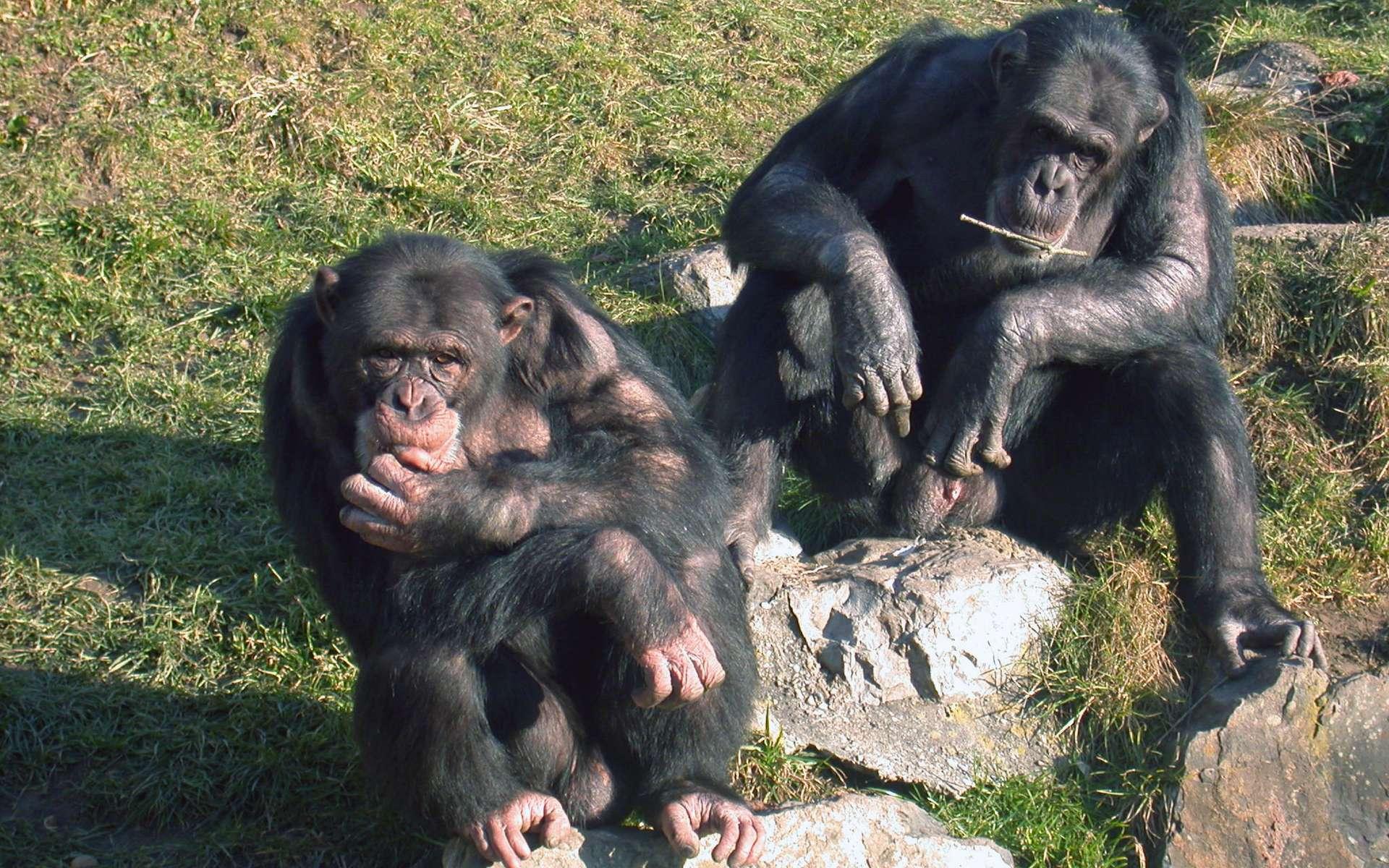 Les chimpanzés forment habituellement des communautés de 20 individus au sein desquelles ils peuvent vivre en sous-groupes. Le toucher joue un rôle important dans leurs communications. © Claudia Rudolf von Rohr