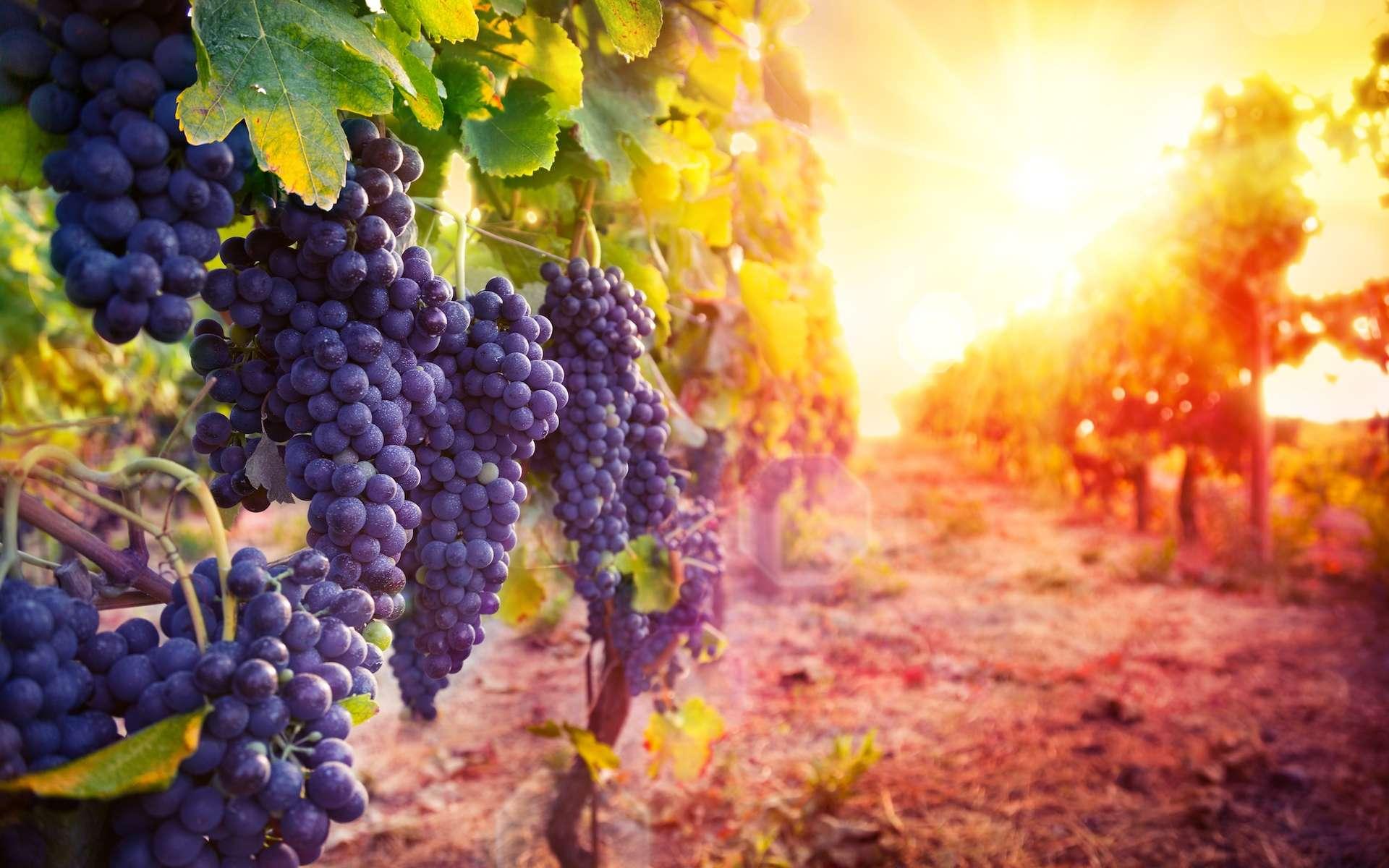 En France, et dans d'autres pays viticoles d'Europe, les vendanges ont lieu de plus en plus tôt ces dernières années. Simples accidents météorologiques liés à des conditions extrêmes ou vraie tendance à long terme liée au changement climatique ? © Romolo Tavani, Shutterstock