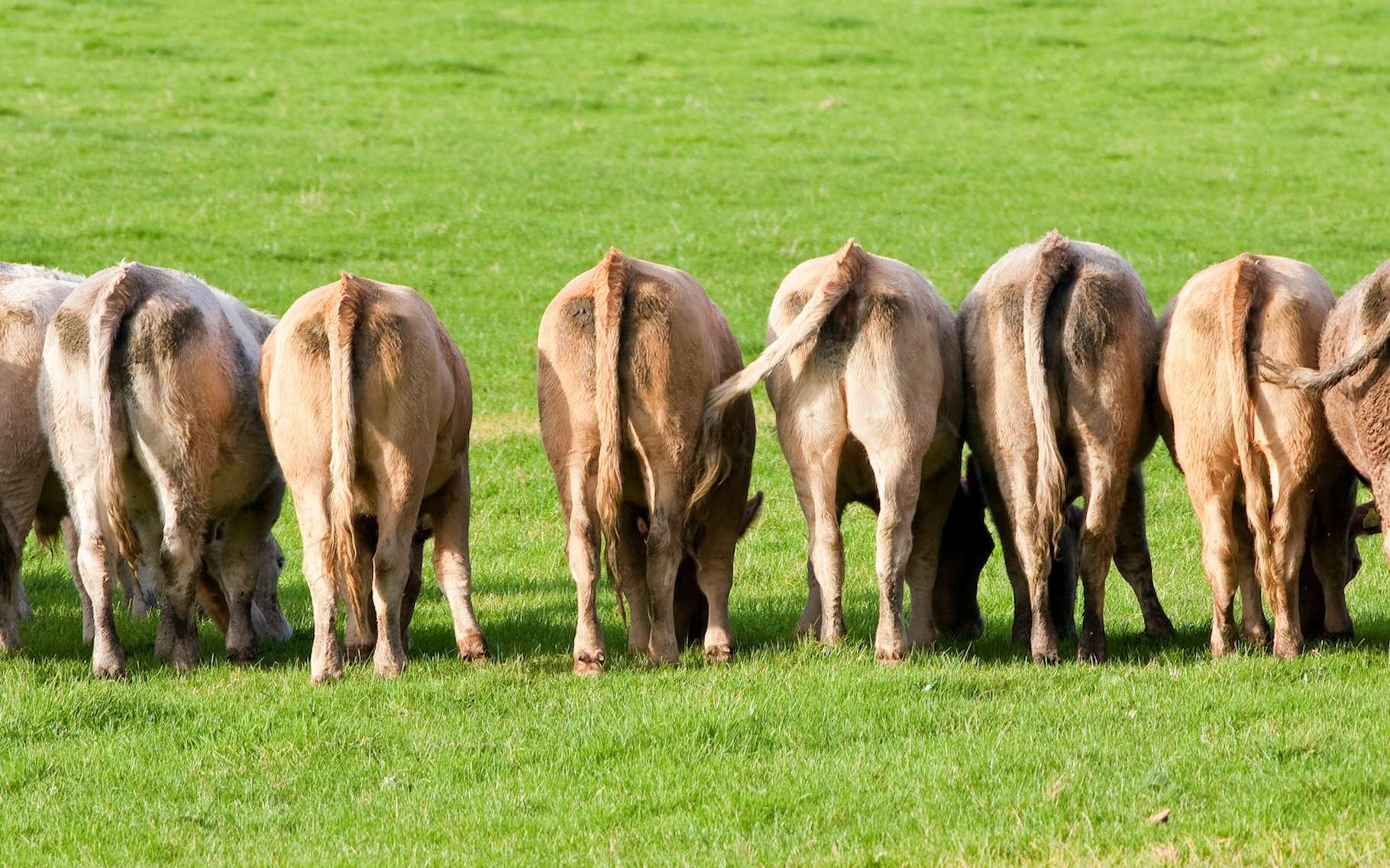 Par leurs pets et leurs rots — les savants parlent de fermentation entérique —, les ruminants d'élevage émettent de quantité de méthane, un puissant gaz à effet de serre. © gozzoli, Adobe Stock