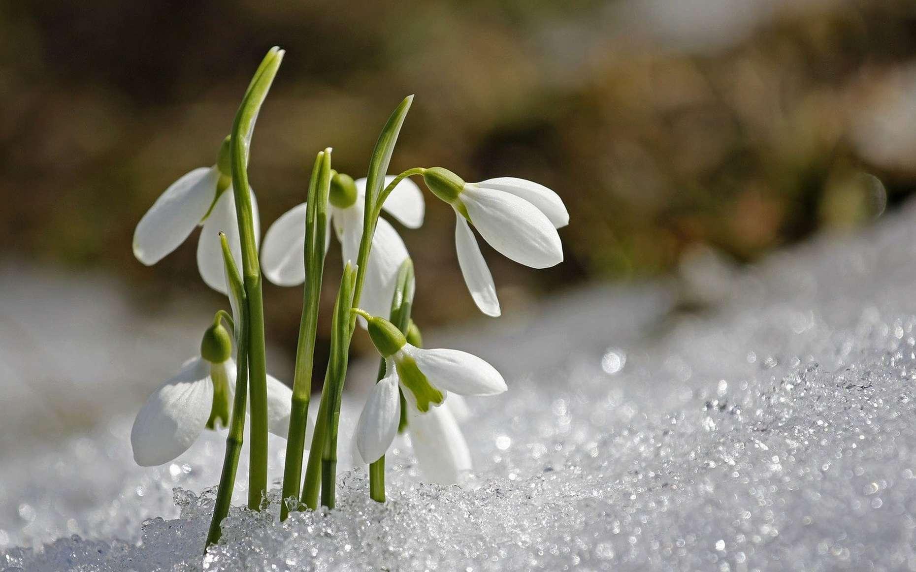 Perce-neige dans la glace. © Sunflair, Pixabay, DP
