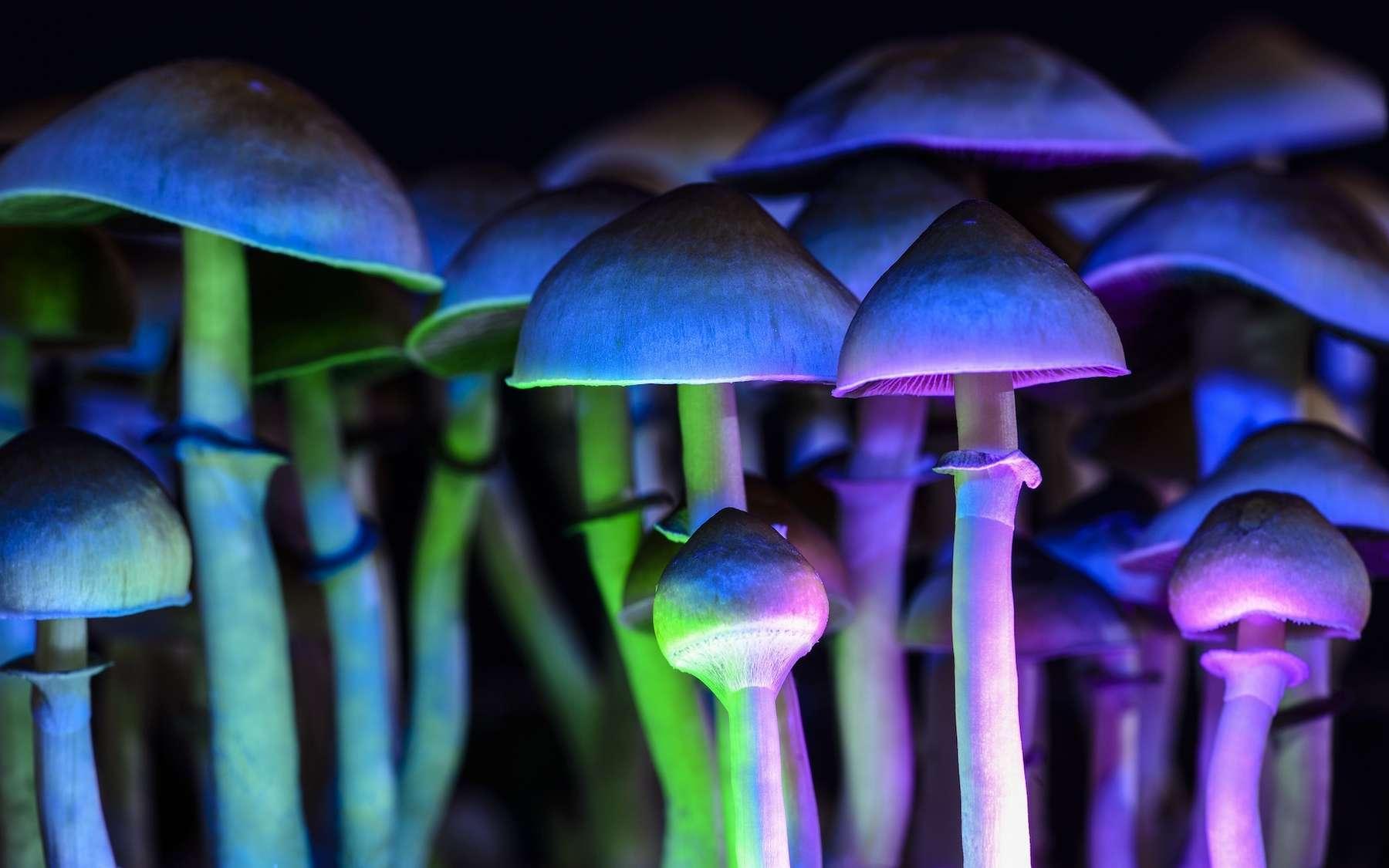 Étudiée depuis les années 1950, la psilocybine, la substance active de certains champignons hallucinogènes, entraîne des effets durables contre l'anxiété et la dépression. © Martina, Adobe Stock