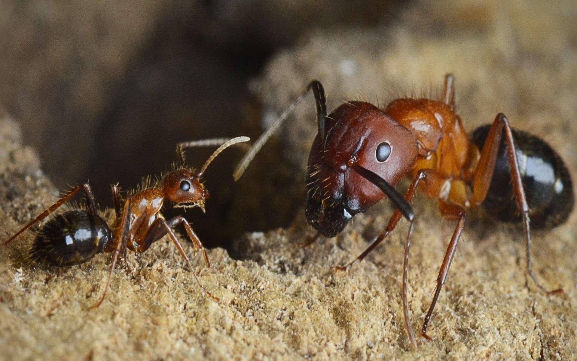 Les fourmis charpentières de Floride, Camponotus floridanus, ont les mêmes gènes. Pourtant la soldate, à droite, est bien plus grande que l'ouvrière, à gauche. Leurs comportements sont très différents aussi et semblent liés à l'expression de certains gènes, régulée par des protéines liées à l'ADN, les histones. © The lab of Shelley Berger, PhD, Perelman School of Medicine, University of Pennsylvania