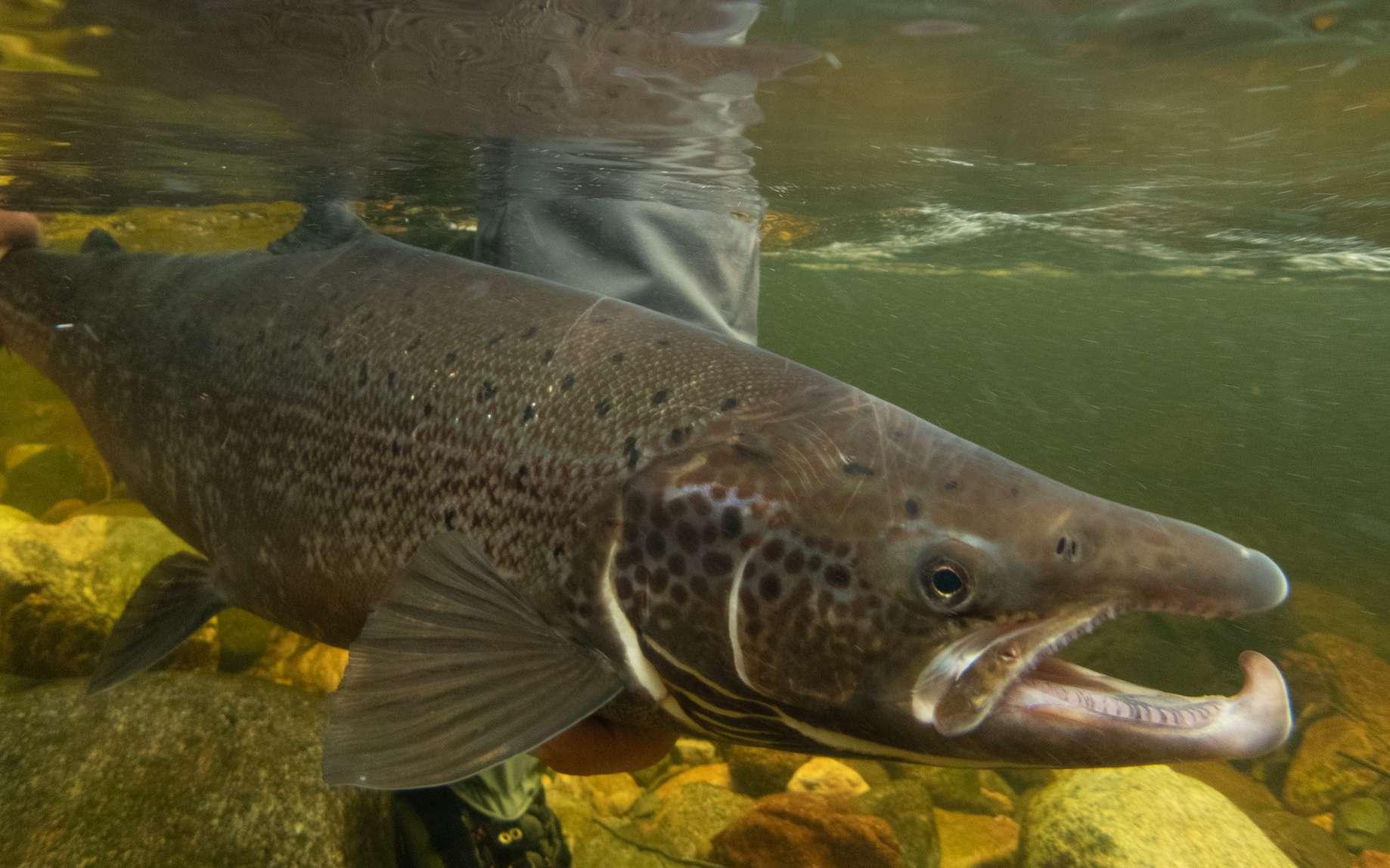 Le saumon fait partie des salmonidés. © jimmie, fotolia