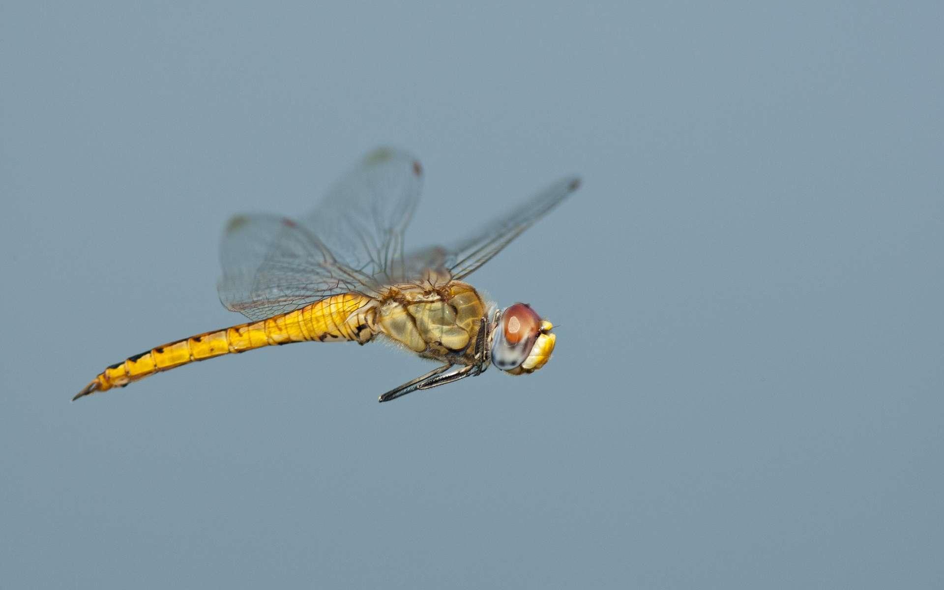 Le corps et les grandes ailes de la libellule Pantala flavescens ont évolué de manière à ce que l'insecte voyage sur de longues distances, avec les courants. © Greg Lasley