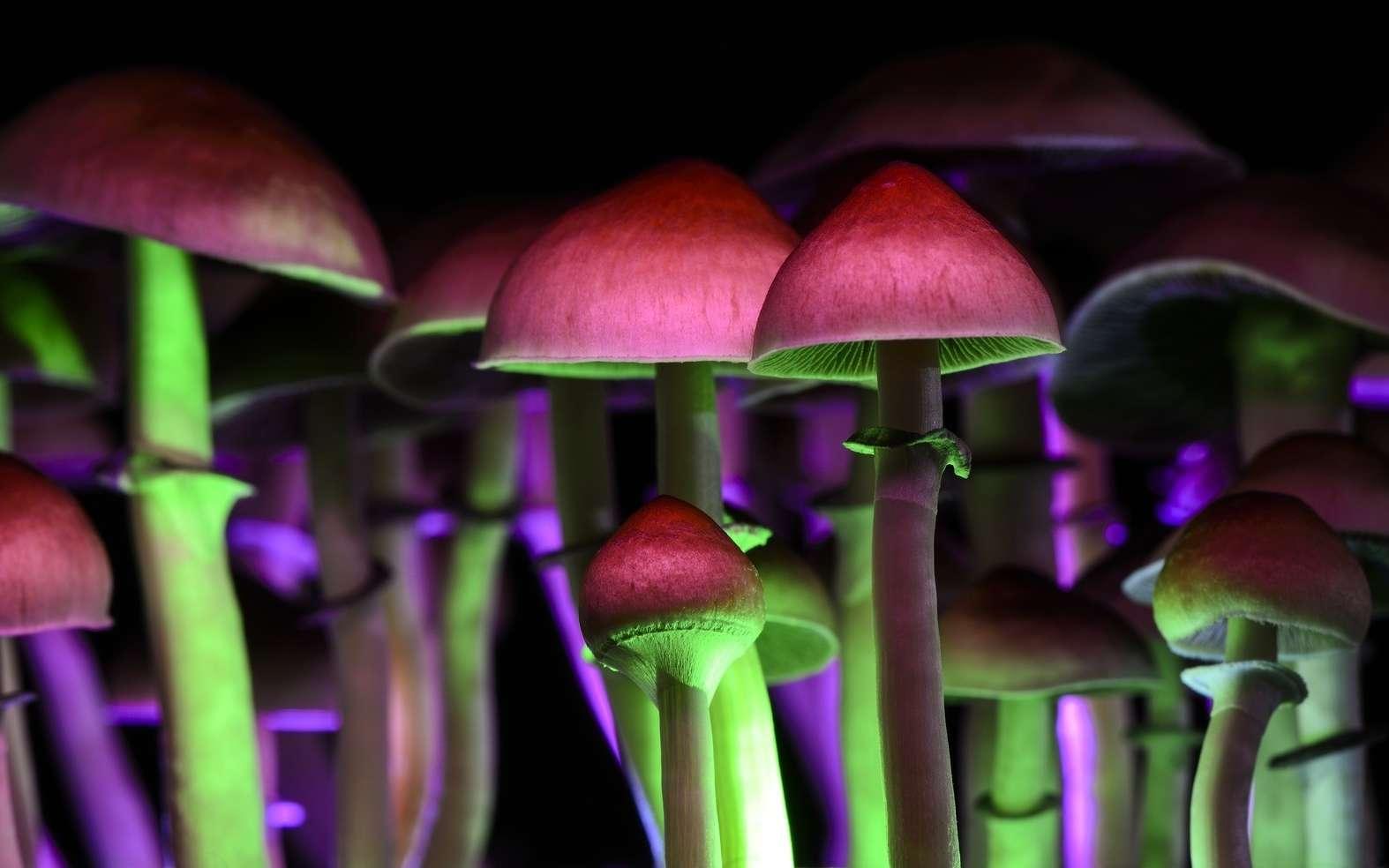 À quoi servent les champignons hallucinogènes dans la nature ? © Martina, Fotolia