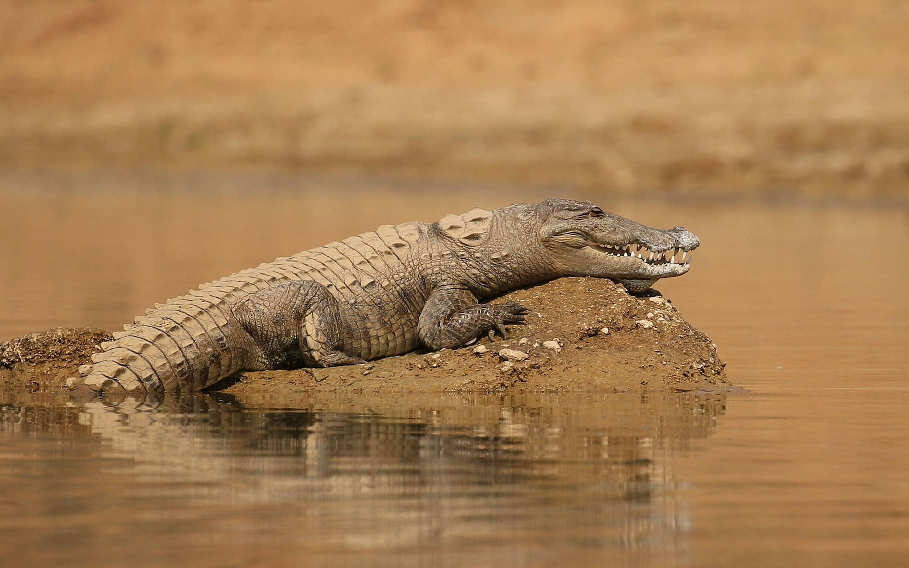 Le crocodile, on l'imagine paresseux et pas très futé. Un peu brut. Pourtant, des chercheurs affirment qu'il est capable d'utiliser des outils. Pour attraper de pauvres oiseaux sans défense. Le crocodile ne serait finalement… pas si bête ! © photocech, Adobe Stock