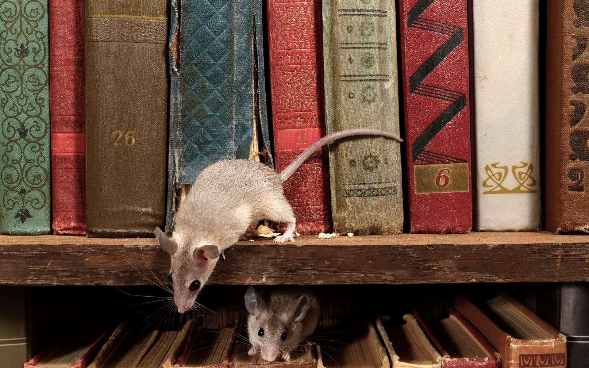 Les souris de l'est et de l'ouest de l'Amérique convergent sur certains points. © torook, Adobe Stock