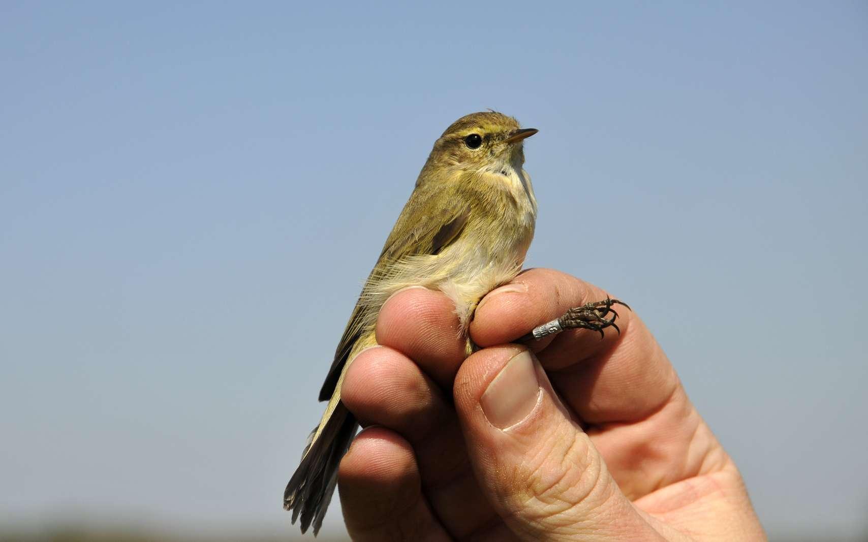 Afin de compter et faire un état des lieux de la population d'une espèce, l'ornithologue pose des bagues sur les oiseaux pour les marquer. © dieter76, Fotolia.