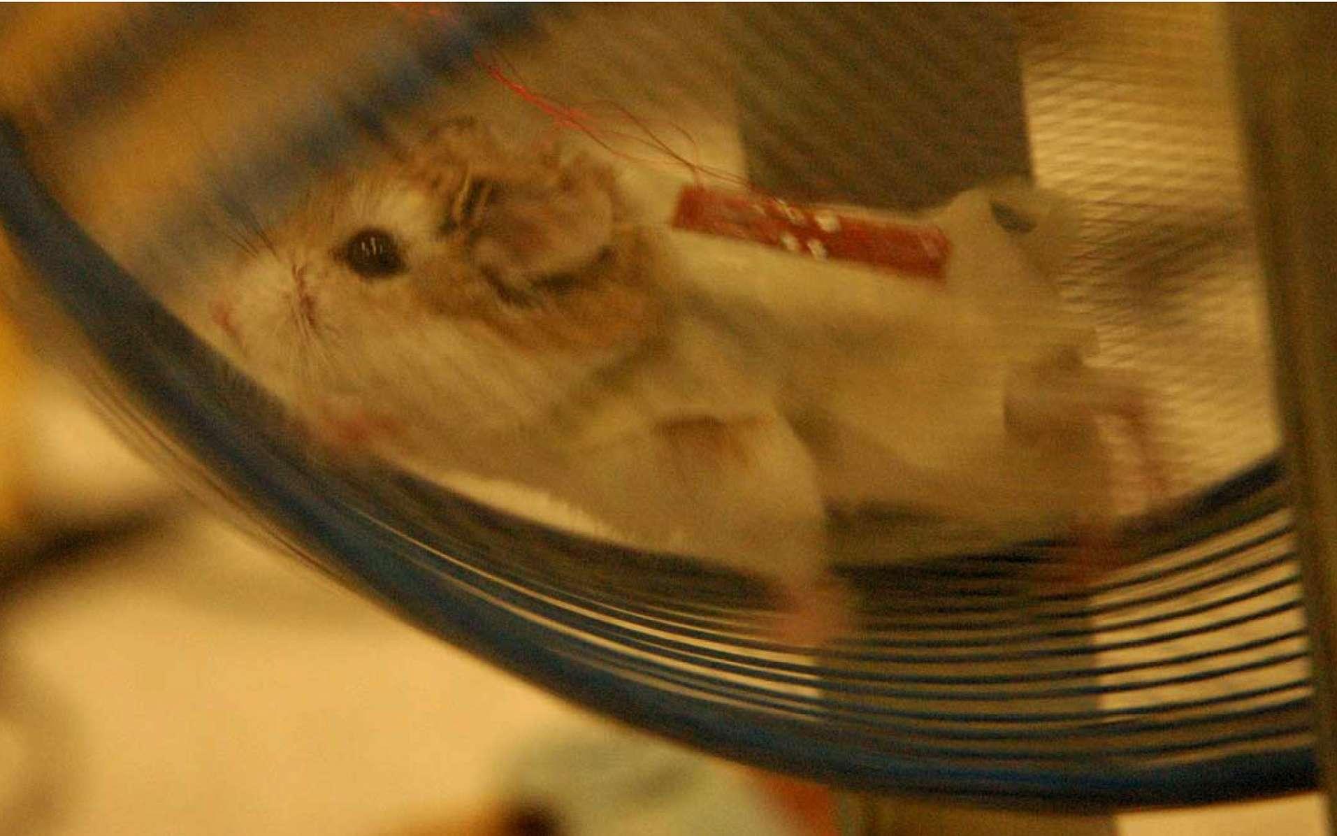 Le hamster de l'expérience a démontré son efficacité. © Zhong Lin Wang