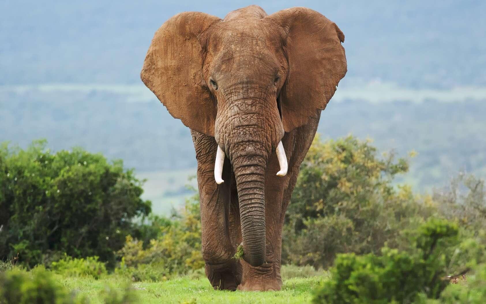 L'éléphant a beaucoup plus de cellules que l'Homme, vit plus de 60 ans et souffre rarement de cancer. Pourquoi ? © peterfodor, Fotolia