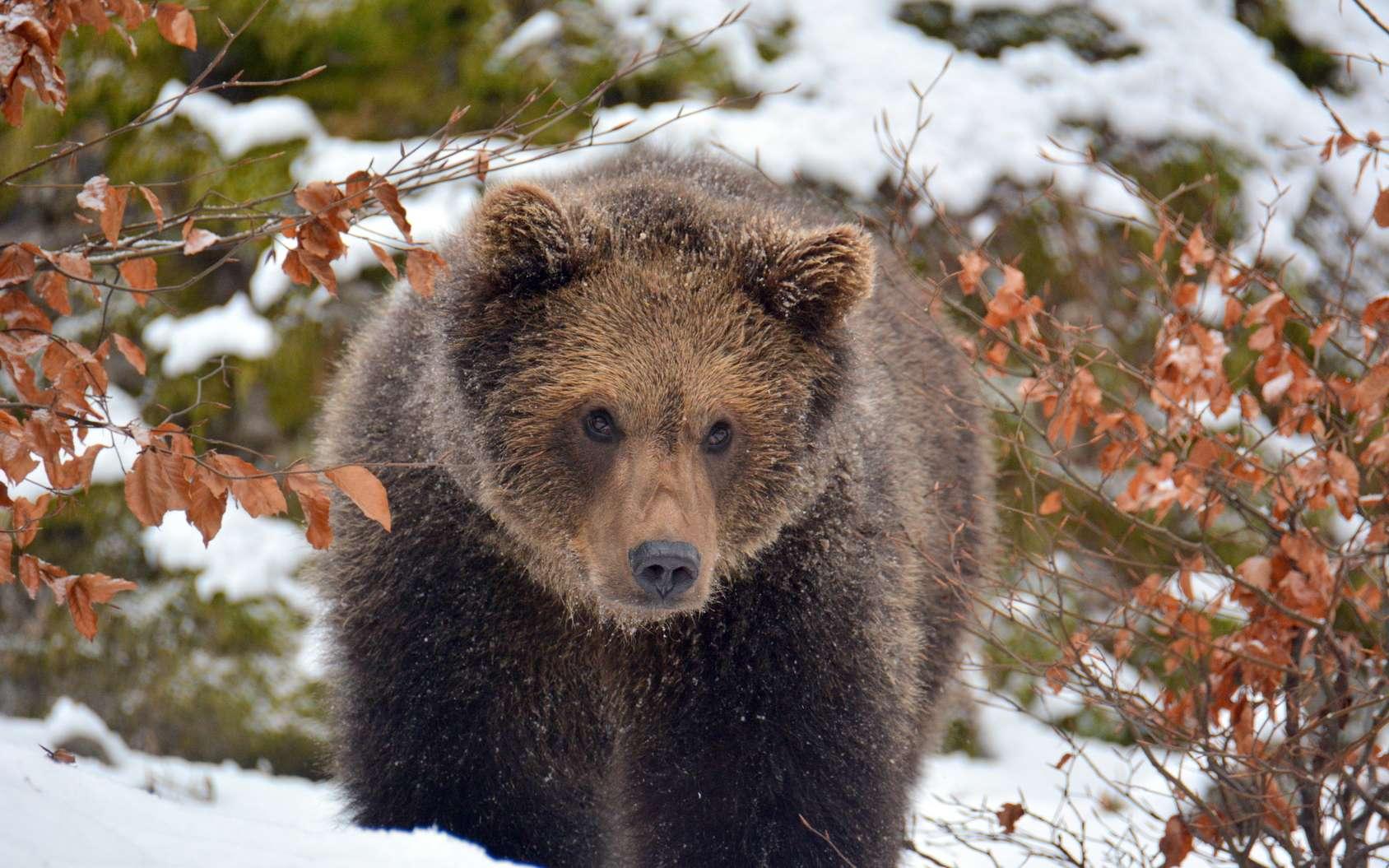 Contrairement à ce que l'on pense généralement, l'ours n'hiberne pas, il hiverne! © Wiltrud, fotolia