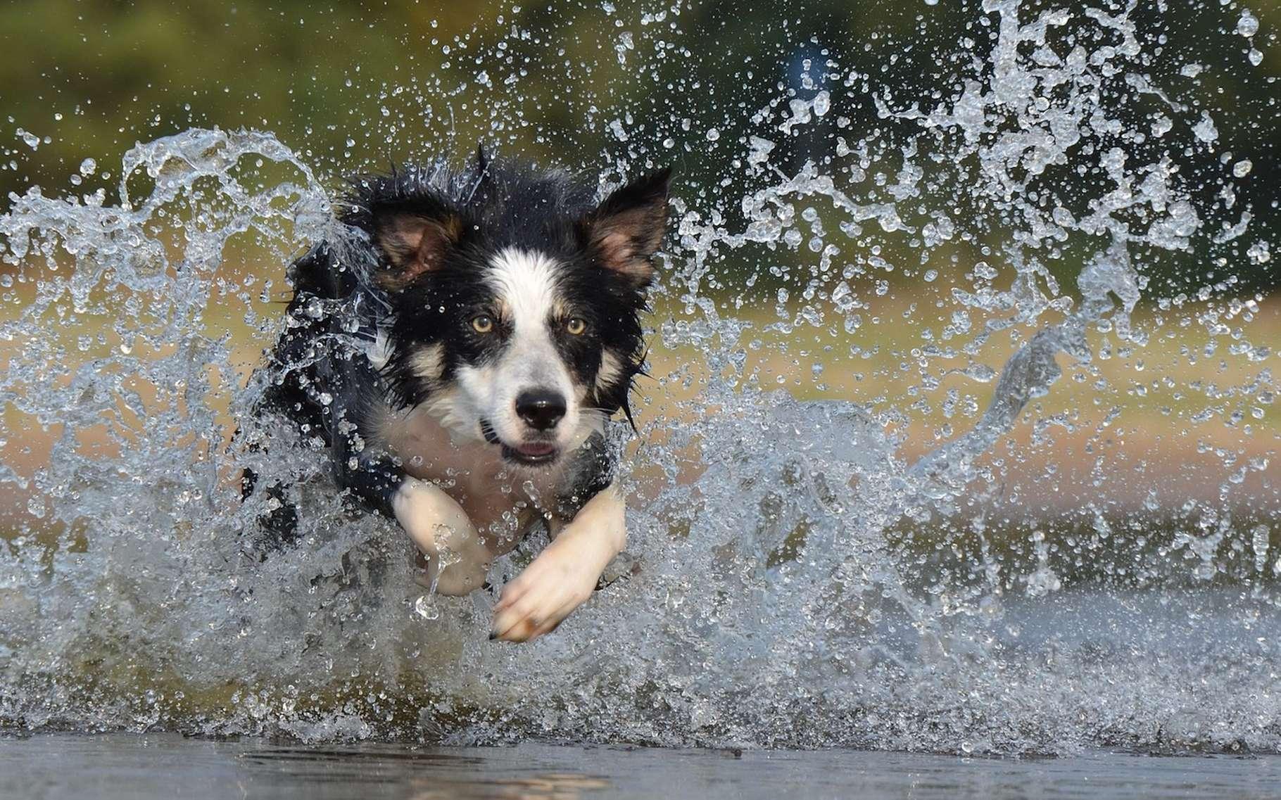 Des gènes ont été identifiés chez le chien qui pourraient être à l'origine de ses capacités athlétiques. Des résultats qui devraient servir à améliorer les performances des athlètes humains. © 825545, Pixabay, CC0 Creative Commons