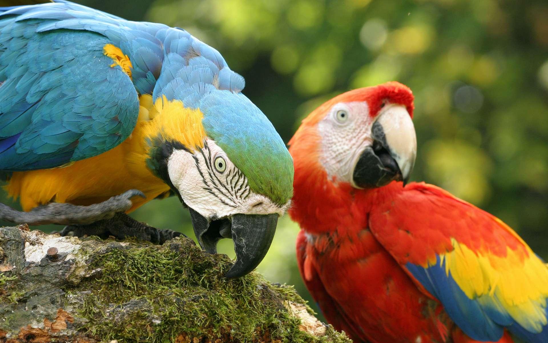 Le perroquet, la perruche, l'ara ou le toui font partie de la même famille des Psittacidés. © Herby Me, Adobe Stock