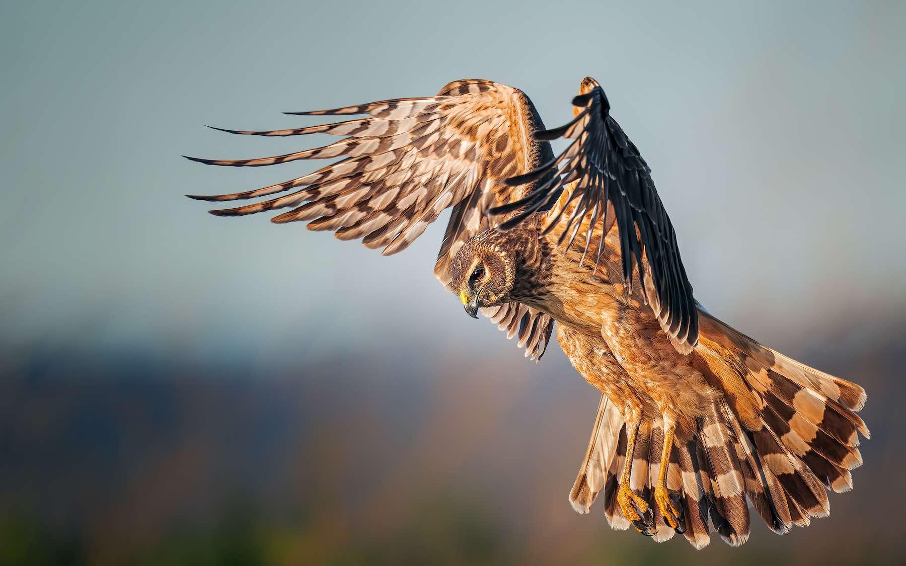 Busard des marais, prix de l'oiseau féminin des Audubon Photography Awards. © Elizabeth Yicheng Shen, Audubon Photography Awards 2021
