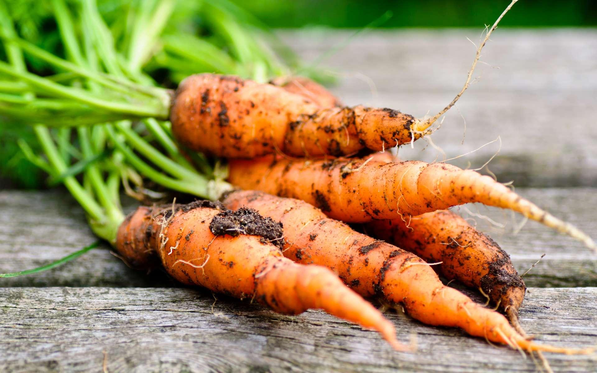 Échelonner les semis pour avoir des carottes toute l'année. © Visions-AD, Adobe Stock