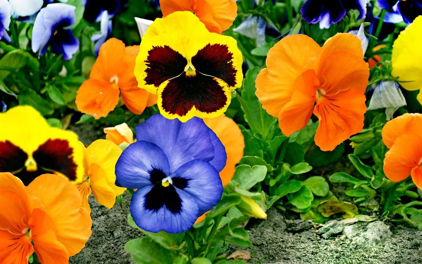 Apporter des couleurs au jardin avec les pensées. © alenalihacheva, Adobe Stock