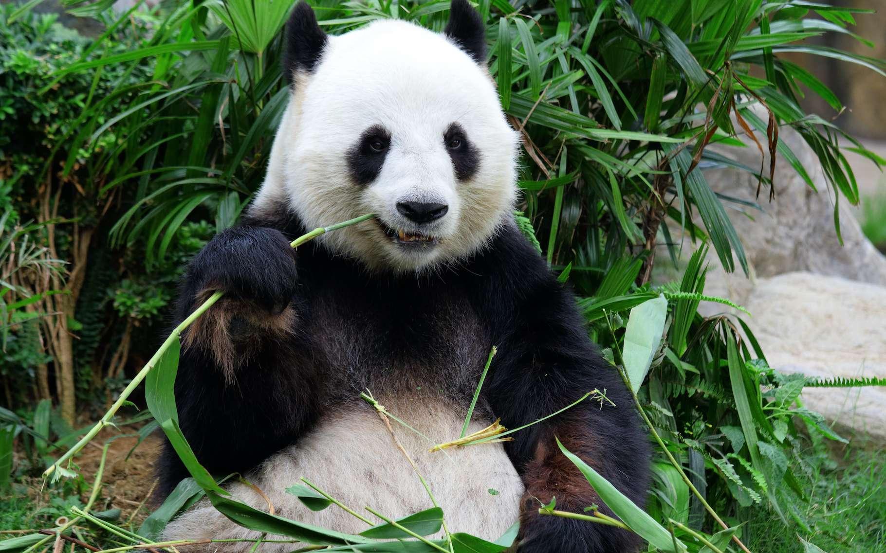 Le panda géant, avec son allure débonnaire, ne semble pas des plus futés. Pourtant, il a su mettre au point une stratégie plutôt efficace pour lutter contre la sensation de froid… pas si bête. © leungchopan, Adobe Stock
