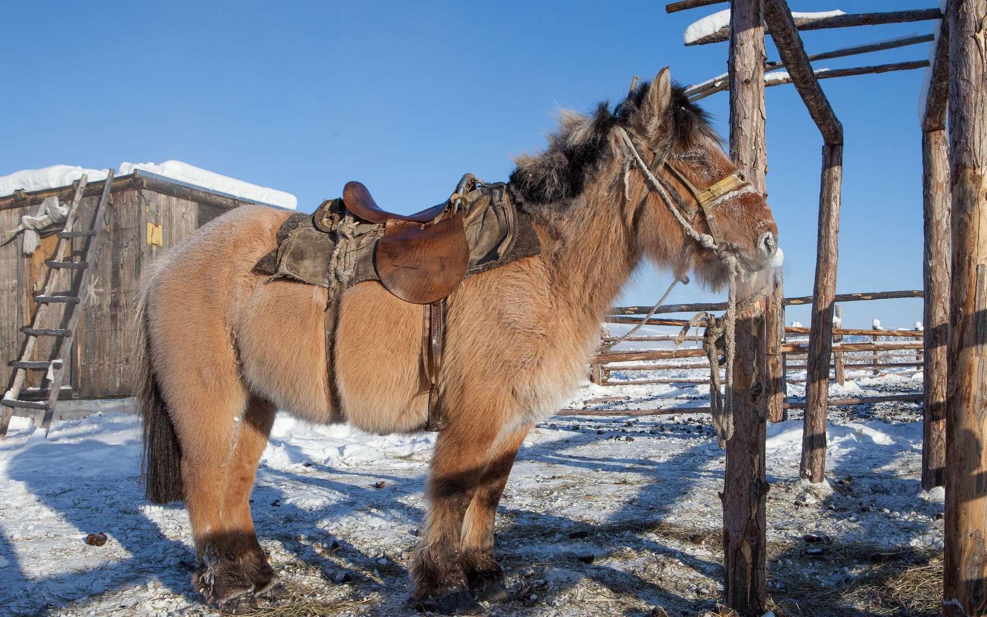 Le cheval (ou poney) iakoute, semi-sauvage, est bien adapté au difficile climat de la Sibérie. La croyance populaire veut que cette race soit ancienne. L'analyse génétique montre qu'il n'en est rien et que l'adaptation s'est réalisée étonnamment rapidement. © Maarten Takens, CC by-sa 2.0