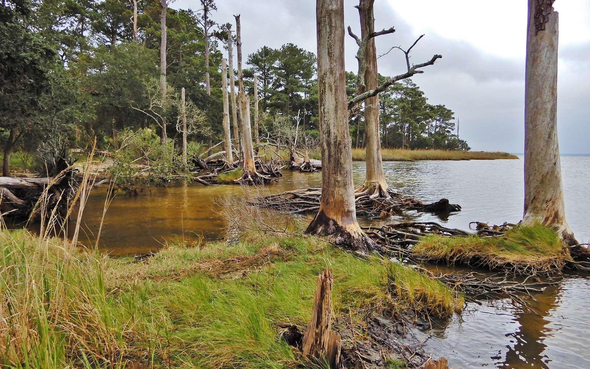 Une « forêt fantôme » envahie par l'eau salée sur les côtes de Caroline du Nord. © NCWetlands, Flickr