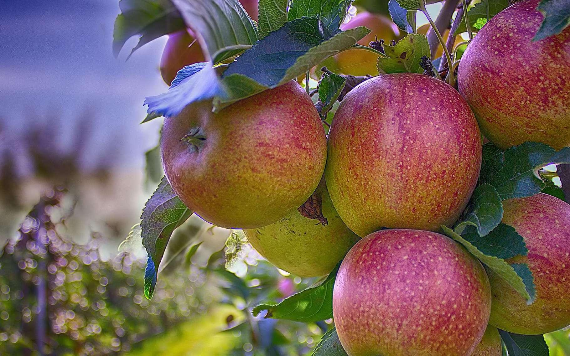 Délicieuses pommes rouges du verger. © MarcoRoosink, Pixabay, DP