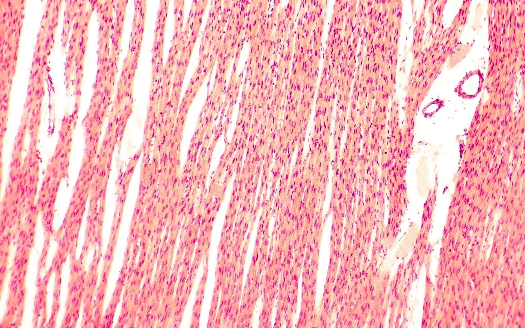 Les cardiomyocytes sont les cellules musculaires cardiaques. © Kateryna_Kon, Fotolia