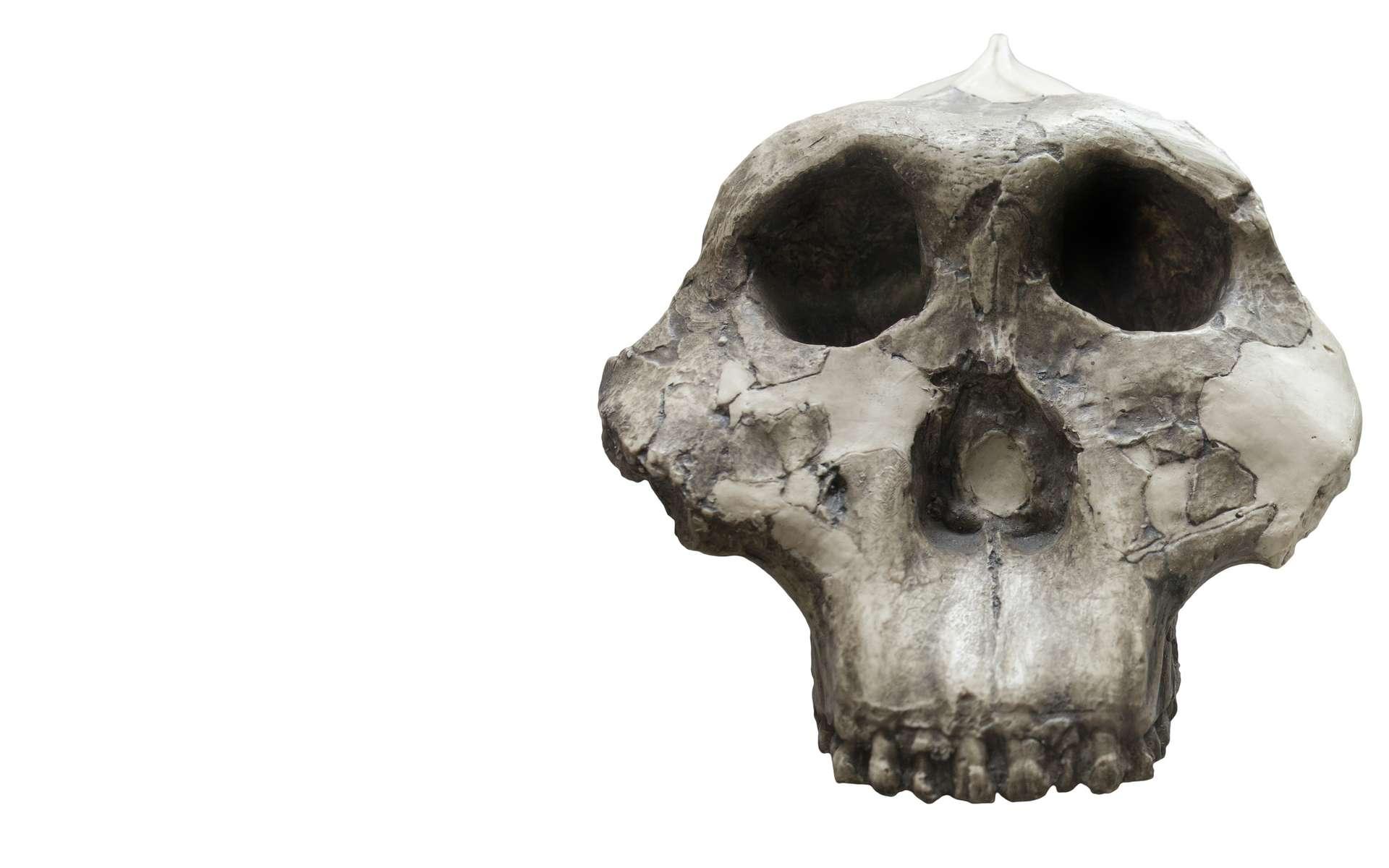 Paranthropus boisei présentait un crâne « robuste » dont la forme diffère largement de celle des humains actuels. © Juan Aunión, Adobe Stock
