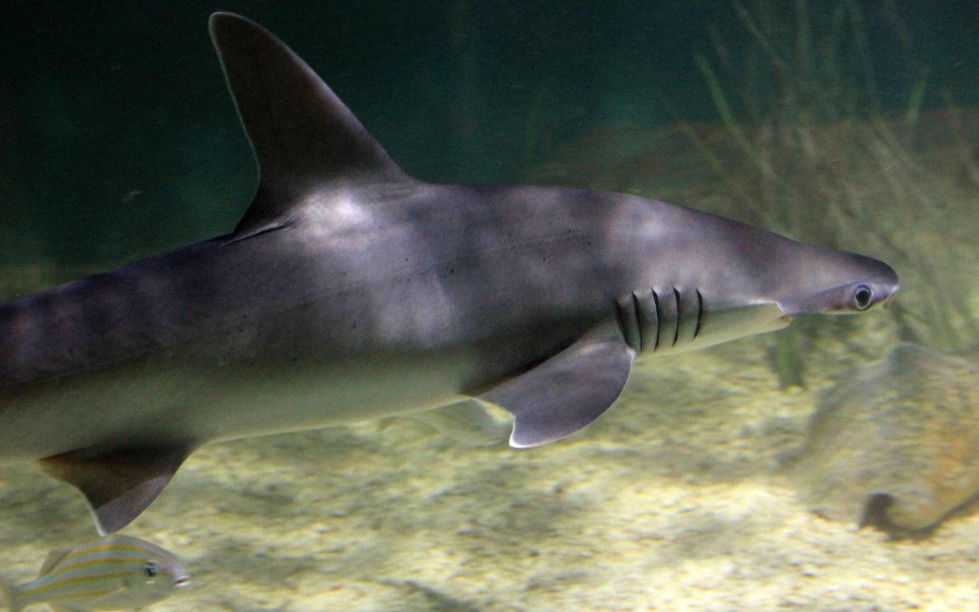 Un requin-marteau tiburo nage près du fond. Il se nourrit de petits animaux de l'herbier mais aussi des feuilles elles-mêmes. © Yinan Chen, DP