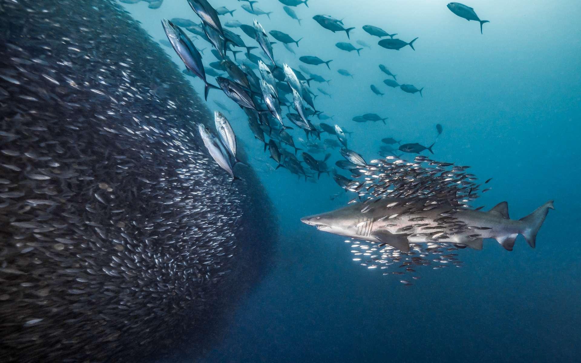 « Écoles d'écoles », 2e prix Comportement sans miroir. Cette photo de requin tigre en plein chasse a été prise à Morehead City, une ville portuaire de Caroline du Nord aux États-Unis. © Debbie Wallace, Ocean Art Competition 2018