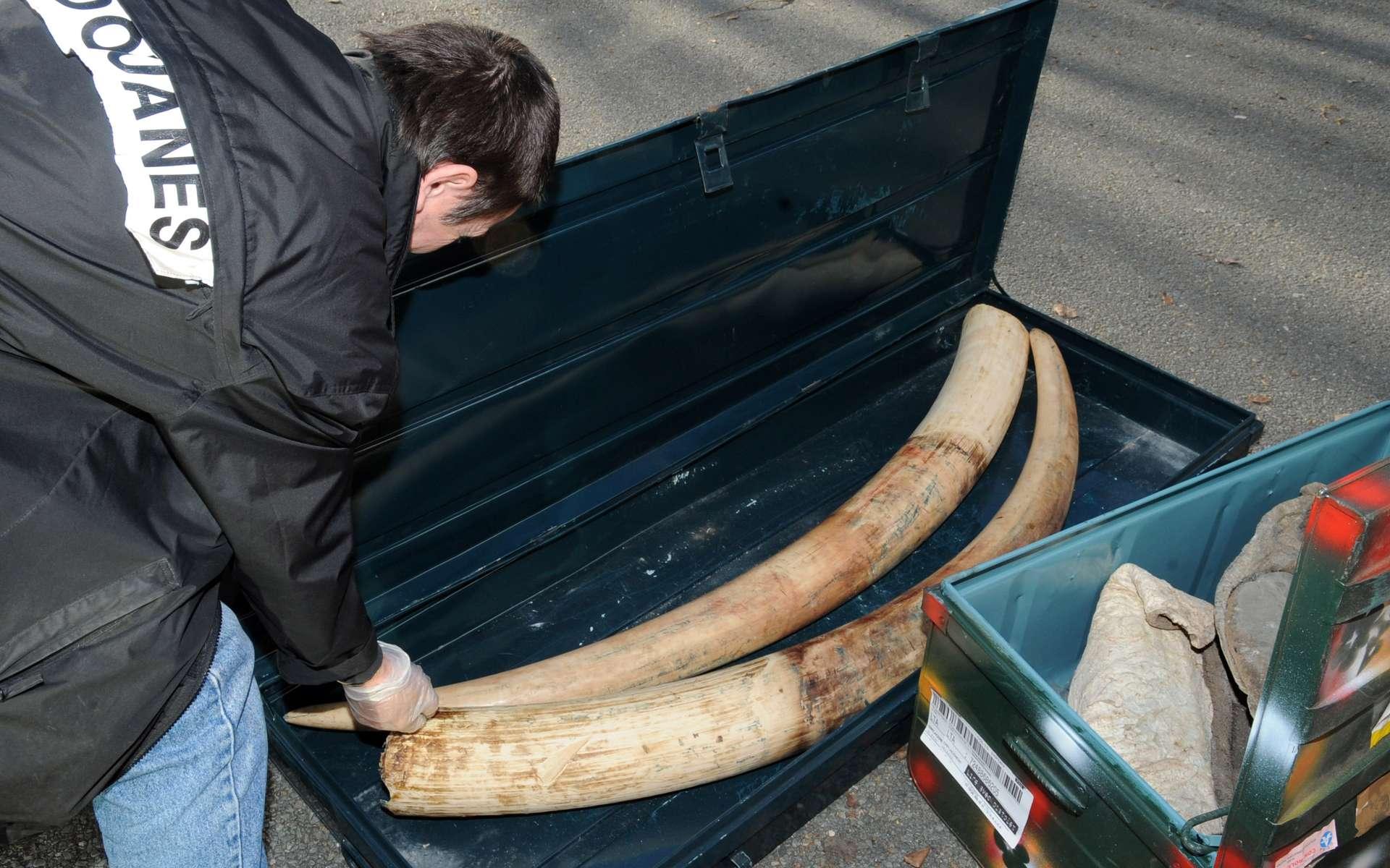 Les saisies d'ivoire en 2011 ont atteint un record depuis 1989. Cette photographie a été prise à Roissy en Mars 2010. © Marc Bonodot, douane française