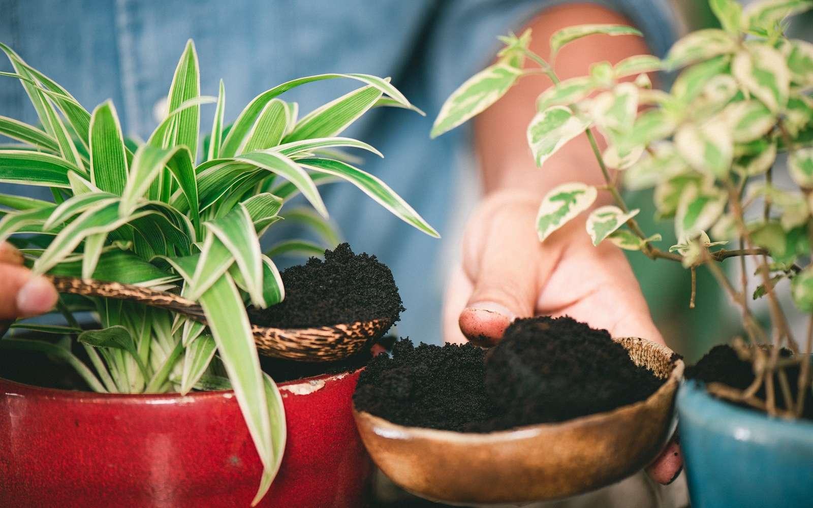 Avoir de belles plantes d'intérieur en apportant du marc de café. © NorGal, Adobe Stock