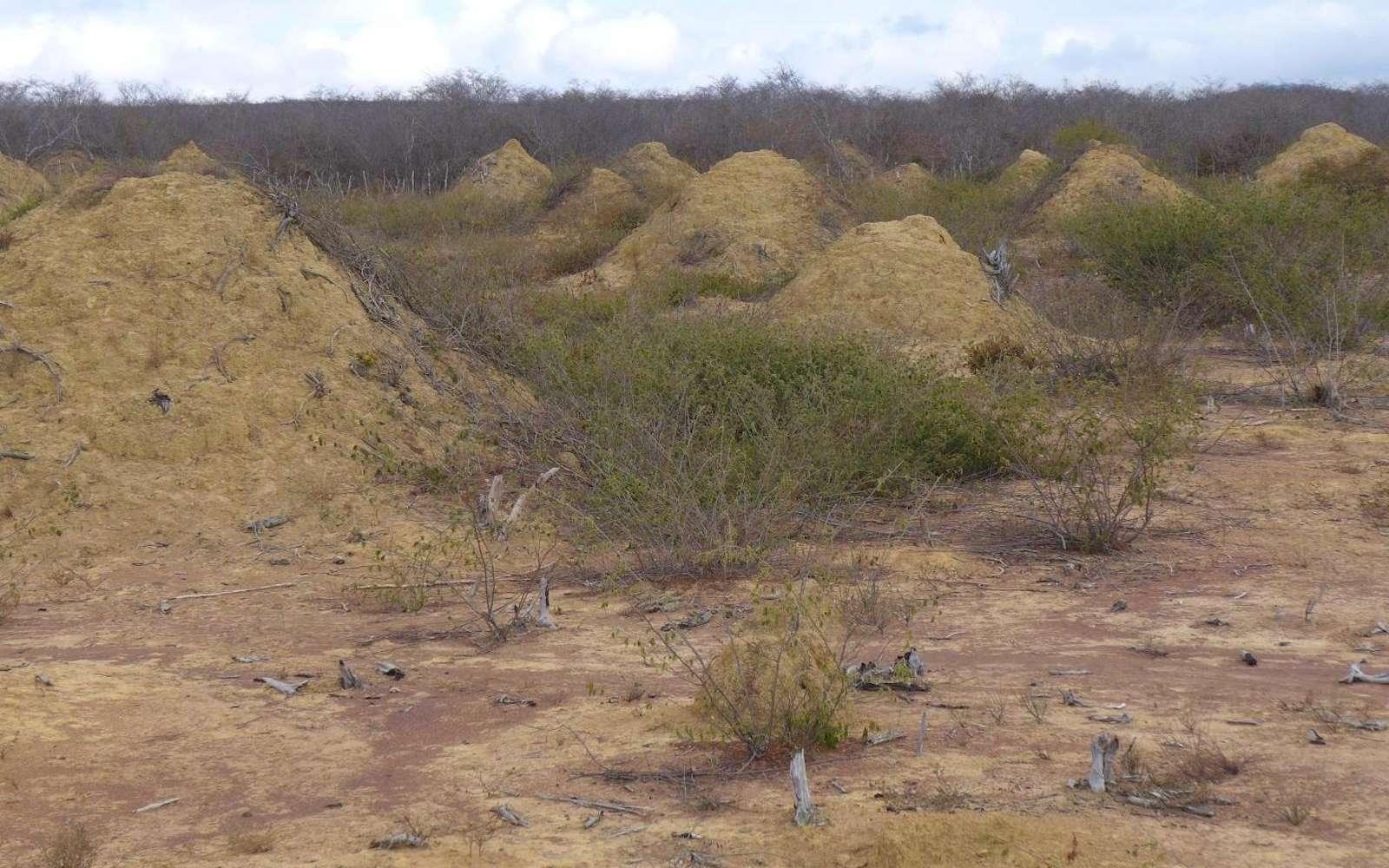 Ces termitières vieilles de 4.000 ans sont la plus grande structure jamais construite par un insecte. © Roy Funch