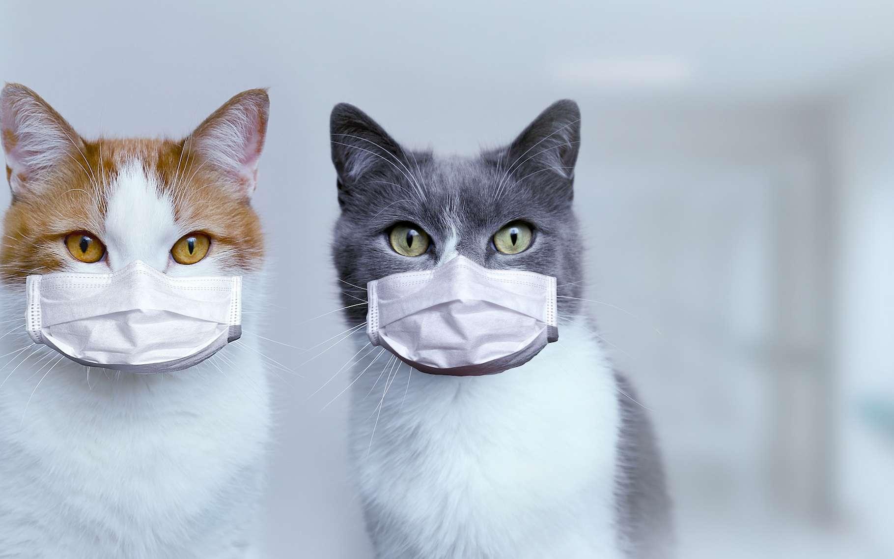 Breve Coronavirus Finalement Les Chats Peuvent Etre Infectes