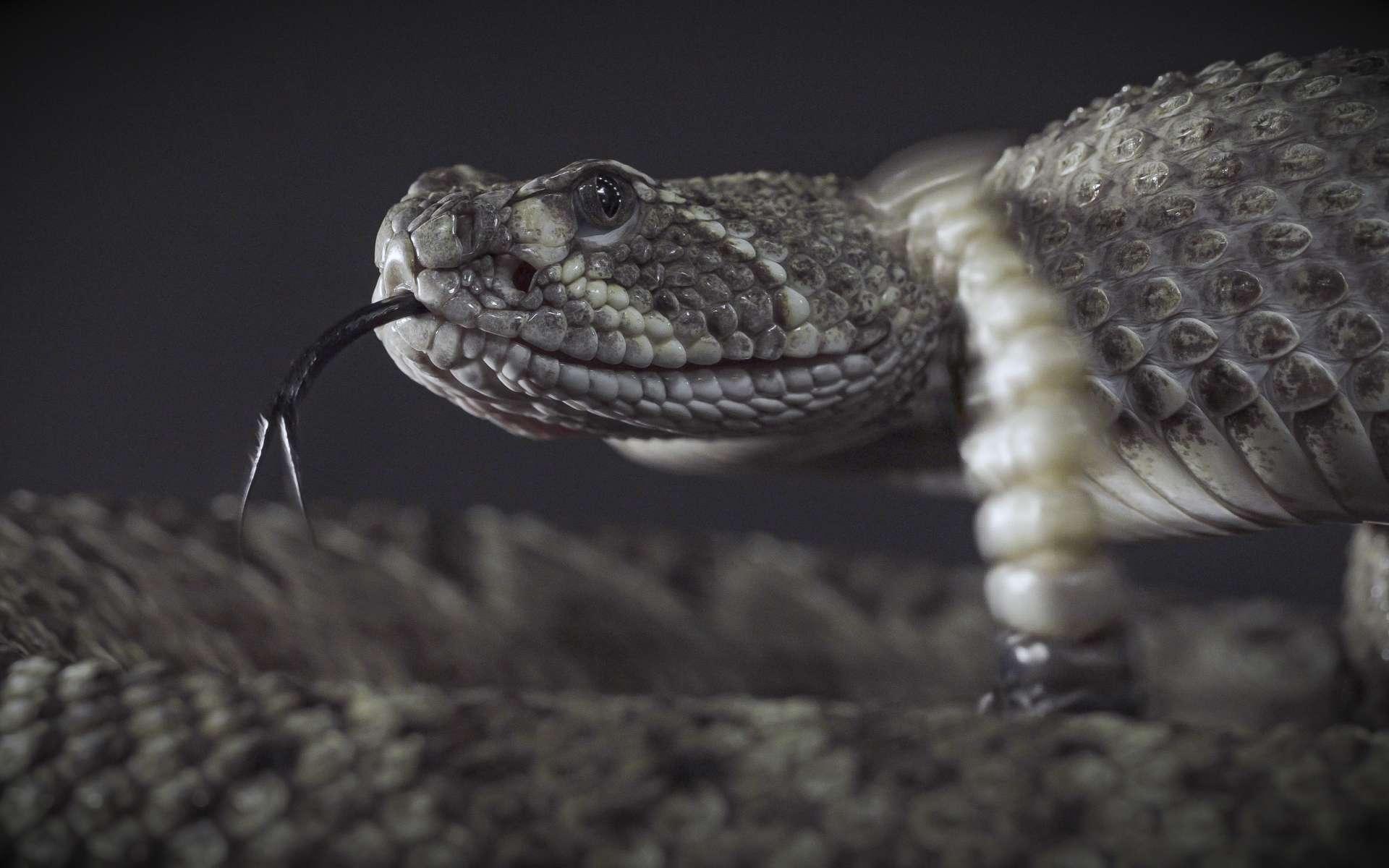 Les serpents à sonnette utilisent le bout de leur queue comme moyen de défense. © +NatureStock, Adobe Stock