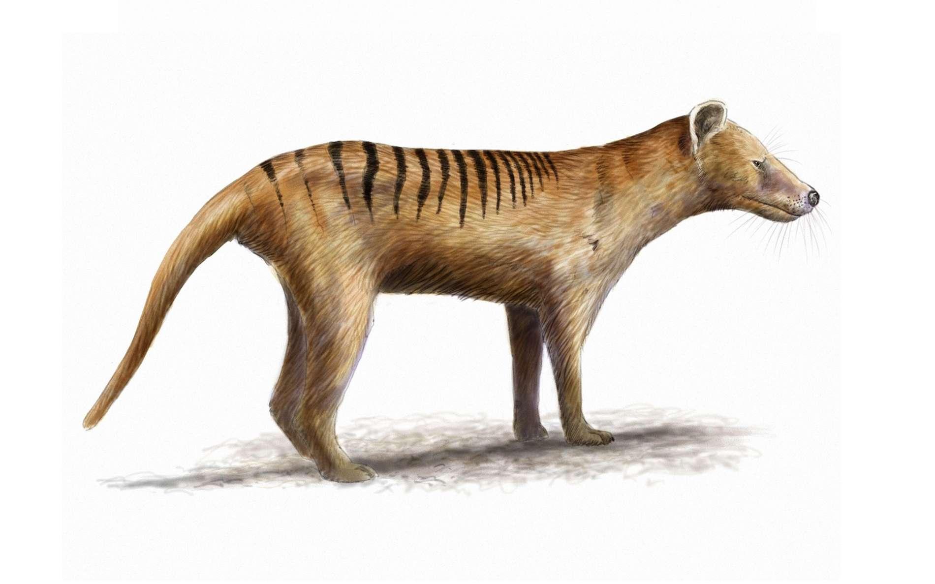 Une reconstitution du thylacine, une espèce considérée comme disparue. © nicolasprimola, fotolia