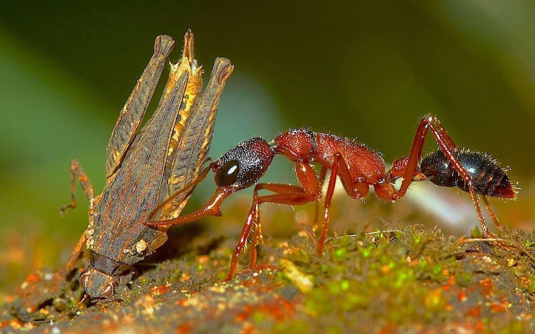 Des chercheurs de l'université d'État de Kennesaw (États-Unis) ont observé une étonnante plasticité chez les fourmis sauteuses indiennes. © Kalesh Sadasivan, Antwiki