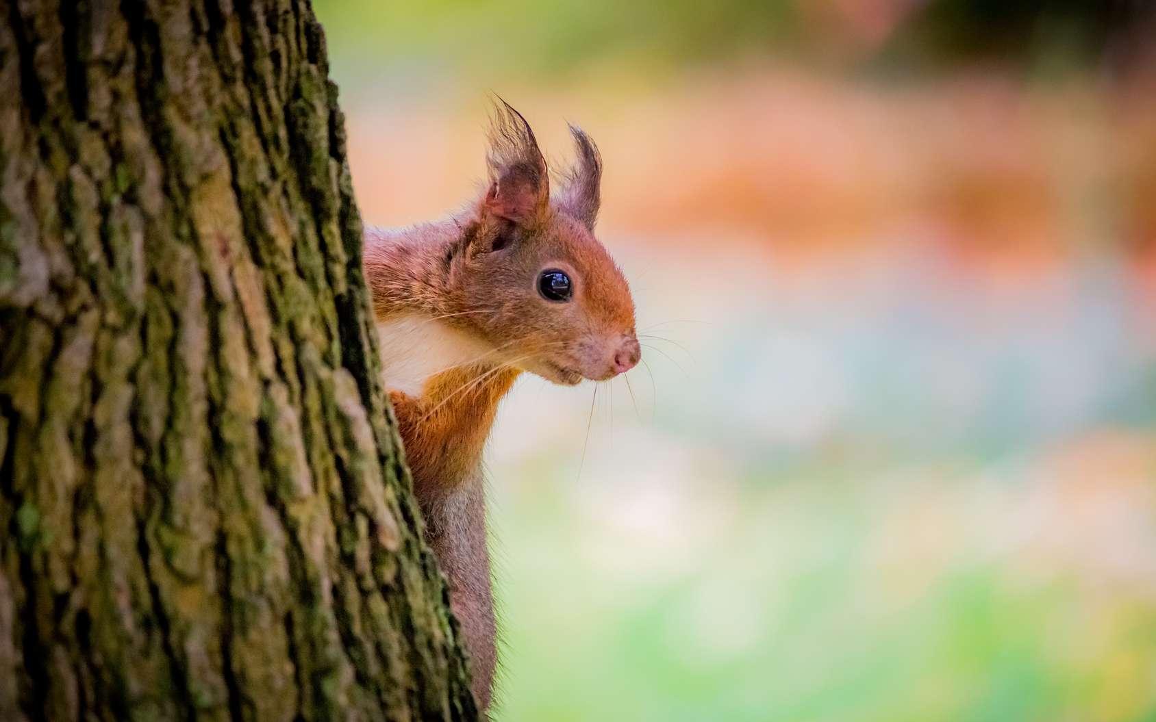 Des poils poussent sur les oreilles de l'écureuil en automne. © MangAllyPop@ER, Fotolia