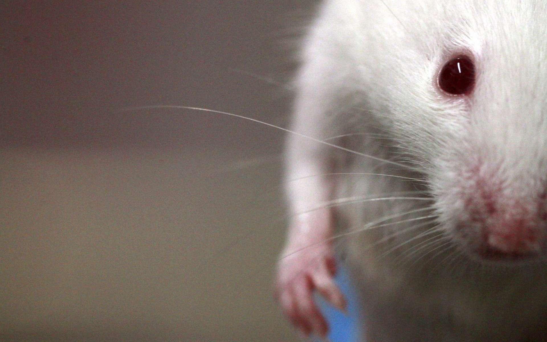 Quarante souris ont été envoyées dans l'espace pour étudier l'atrophie musculaire en micropesanteur. © Rama, CC by-sa 2.0