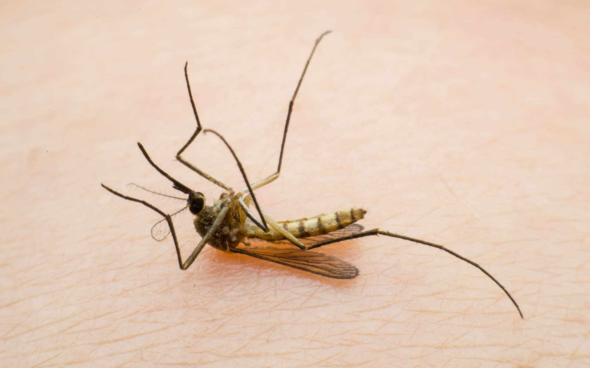 Les moustiques femelles disparaissent en quelques générations. © Jeeranan, Adobe Stock