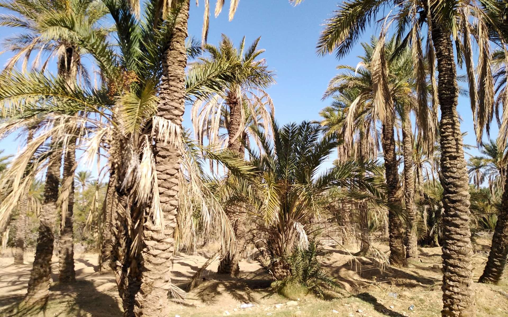 Dans le sud du Maroc, des oasis ancestrales sont menacées d'extinction. © Ali Selmi, Adobe Stock