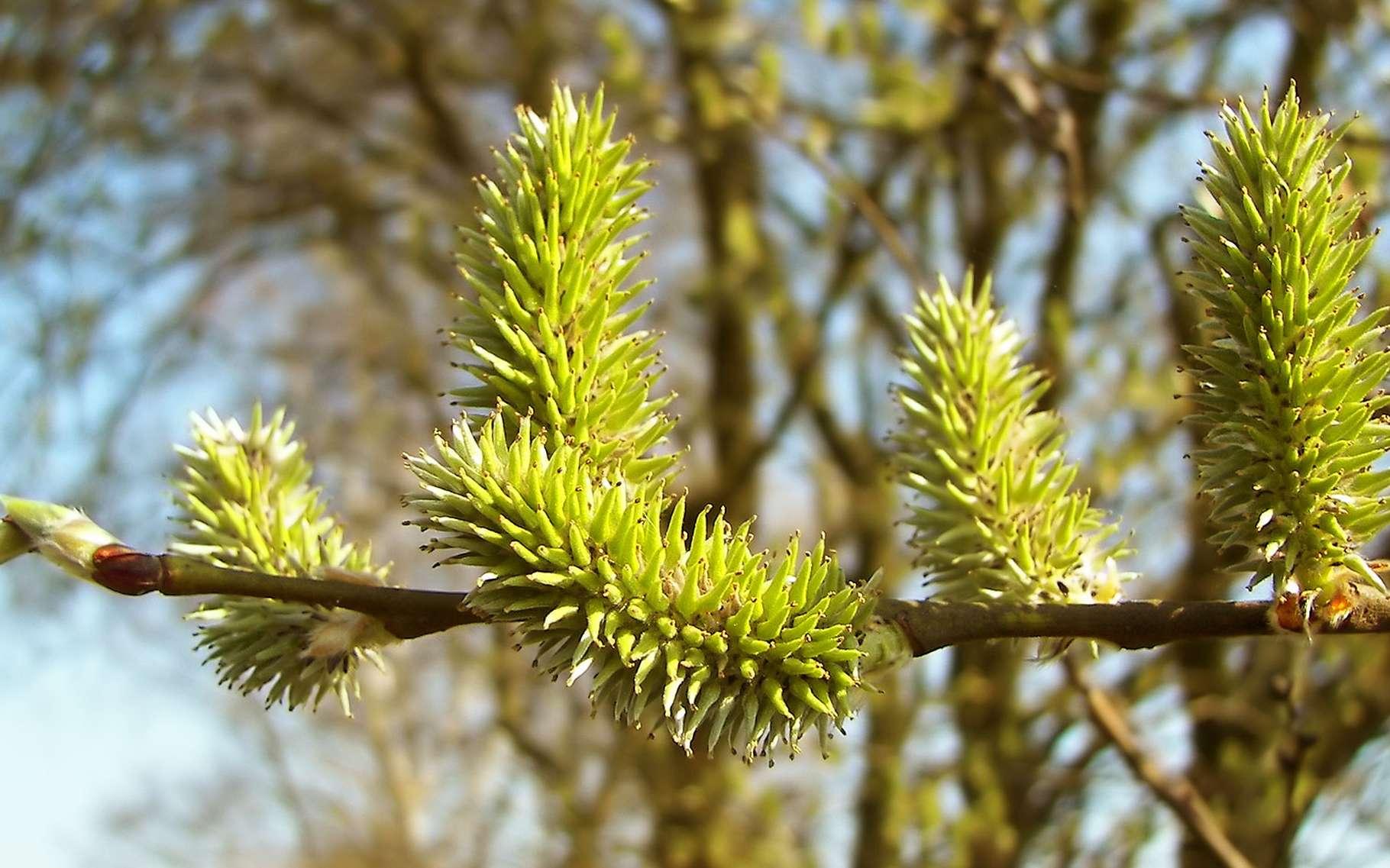 Saule marsault, (Salix caprea), Ort: Lahntal-Goßfelden, Hessen, Deutschland. © Willow, GNU Free Documentation License, Version 1.2