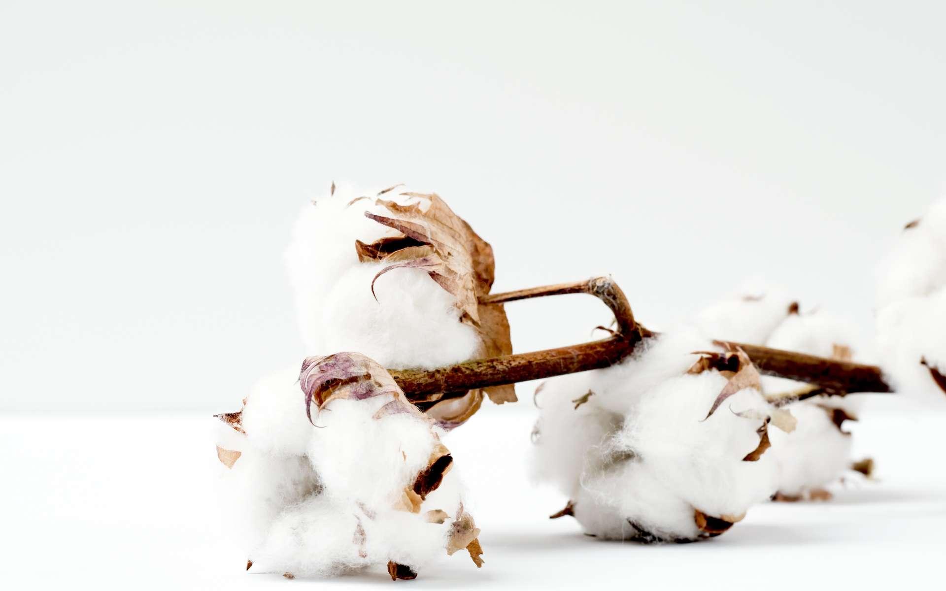 Le coton, future source de protéines ? © Marianne Krohn, Unsplash