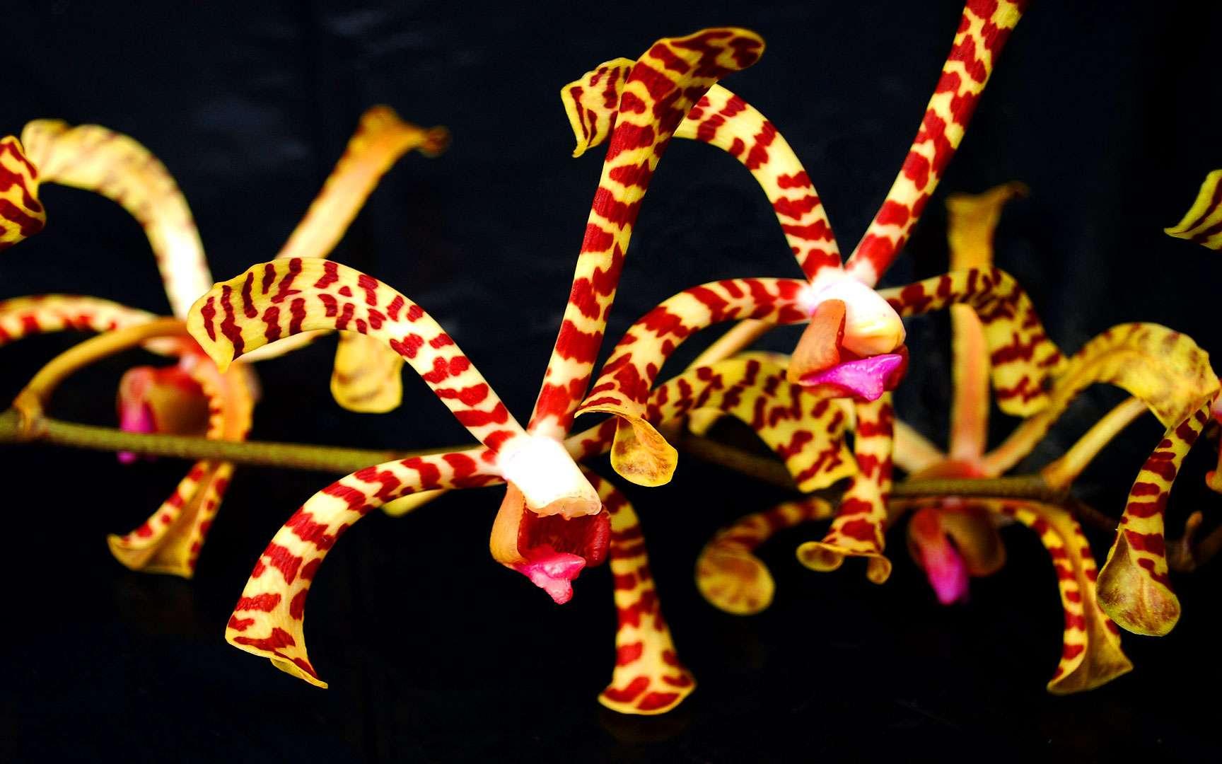 Arachnis, une orchidée d'Asie du Sud-Est. Arachnis est un genre d'orchidées composé d'une dizaine d'espèces que l'on trouve en Asie du Sud-Est, du Bouthan au Sikkim, mais également dans les îles Philippines, Java, Bornéo, Sumatra ou dans les îles Salomon. Les plantes sont des épiphytes en lianes dont les racines sont réparties le long des tiges. Les fleurs fines et délicates, qui ont une forme faisant songer aux araignées, éclosent en grappes. Les orchidées nécessitent beaucoup d'humidité et fleurissent en plein soleil. Les coloris des sépales varient du jaune au rouge et sont bariolés de veines brunâtres plus ou moins marquées. © Amanda Richards, CC by-nc 2.0