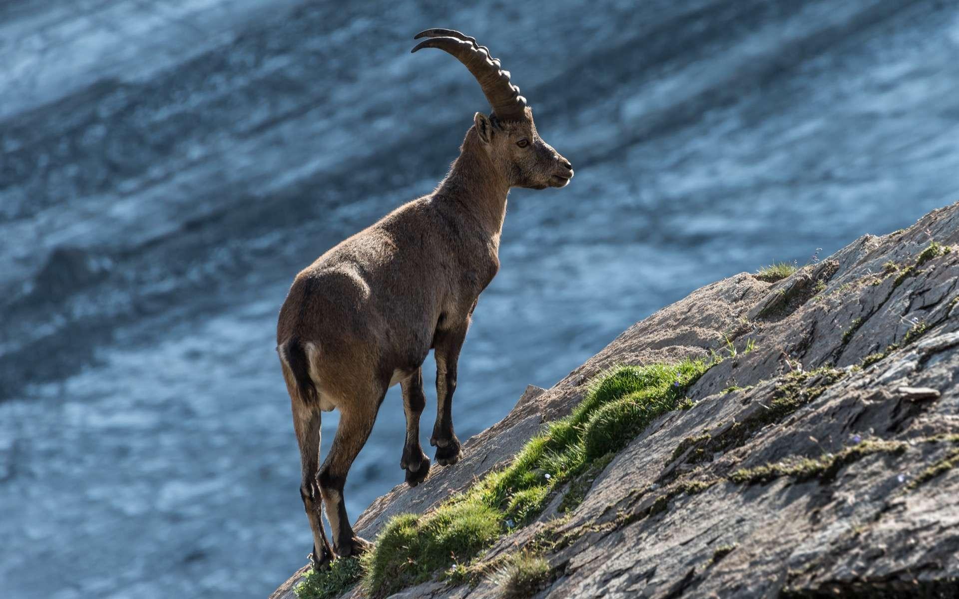Le Bouquetin des Alpes, Capra ibex, a bien failli disparaître du massif des Alpes au XIXe siècle. ©Bernd Thaller, Wikimedia Commons, CC by-sa 3.0