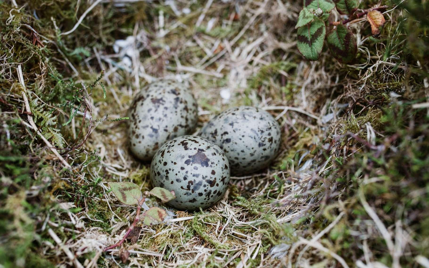 Les capacités d'adaptation des animaux sont étonnantes. Des chercheurs espagnols nous en proposent aujourd'hui un nouvel exemple avec des œufs de goélands qui communiquent entre eux des informations relatives à de potentiels dangers. © psousa5, Fotolia