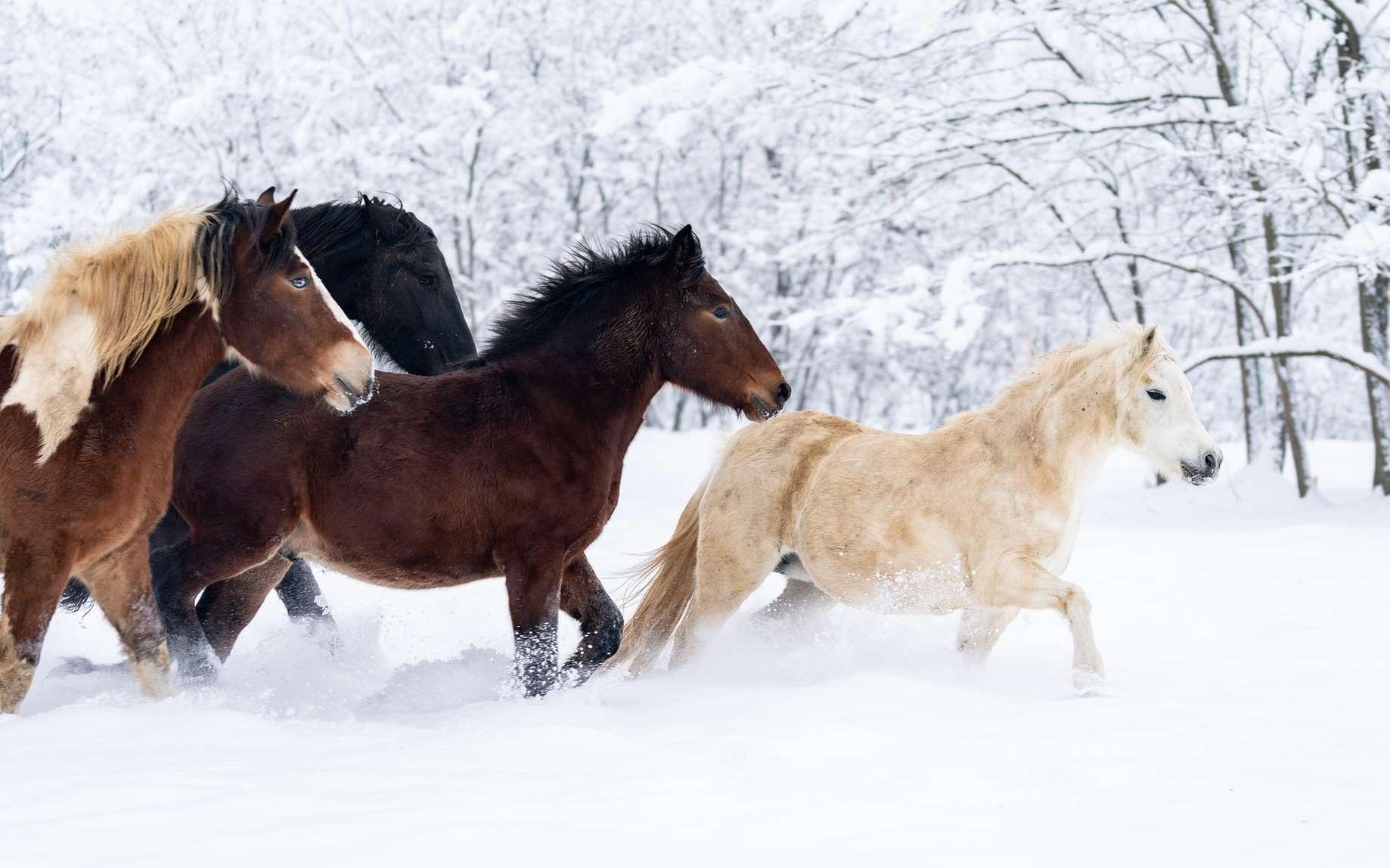 Les scientifiques cherchent à déterminer les origines du cheval domestique actuel et ils n'ont toujours pas de réponse. © Vali, Fotolia