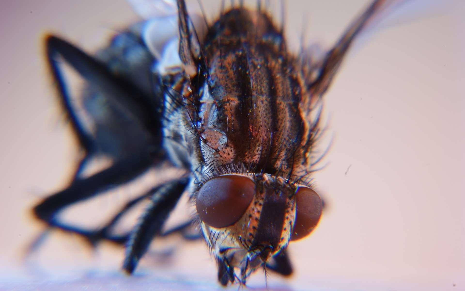 La mouche fait partie des diptères. © DR