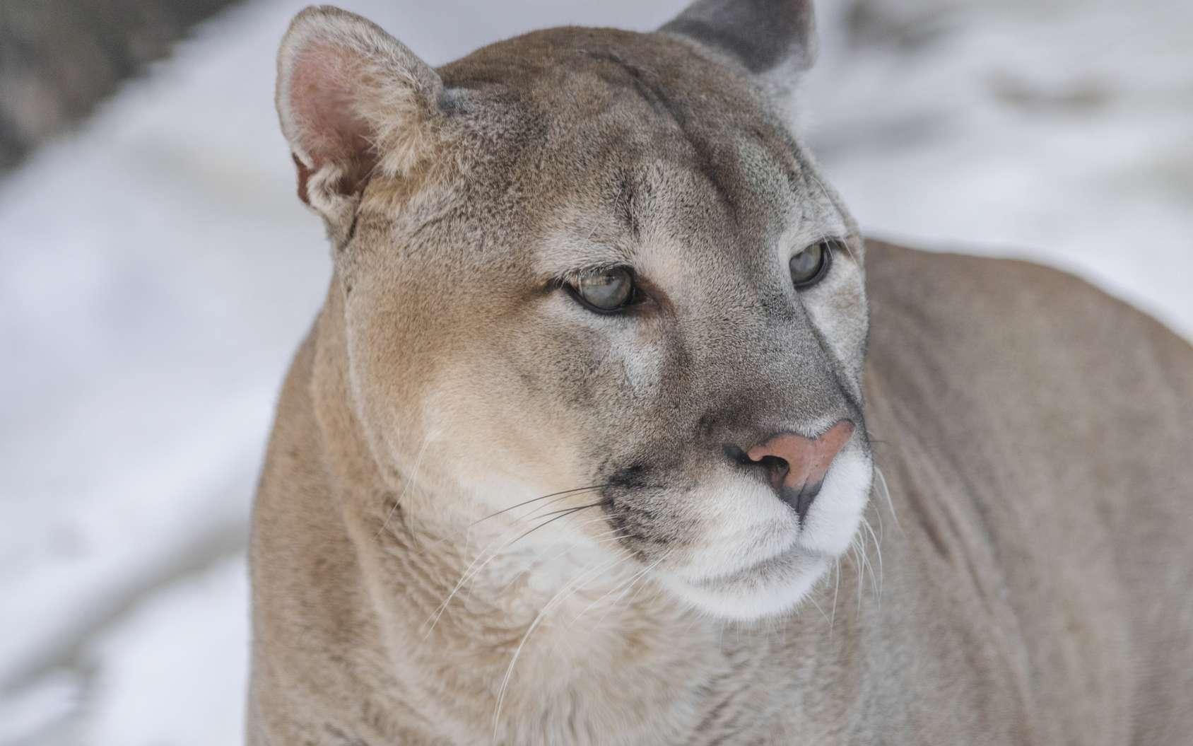 Beau portrait d'un puma (Puma concolor couguar). © Martin, fotolia