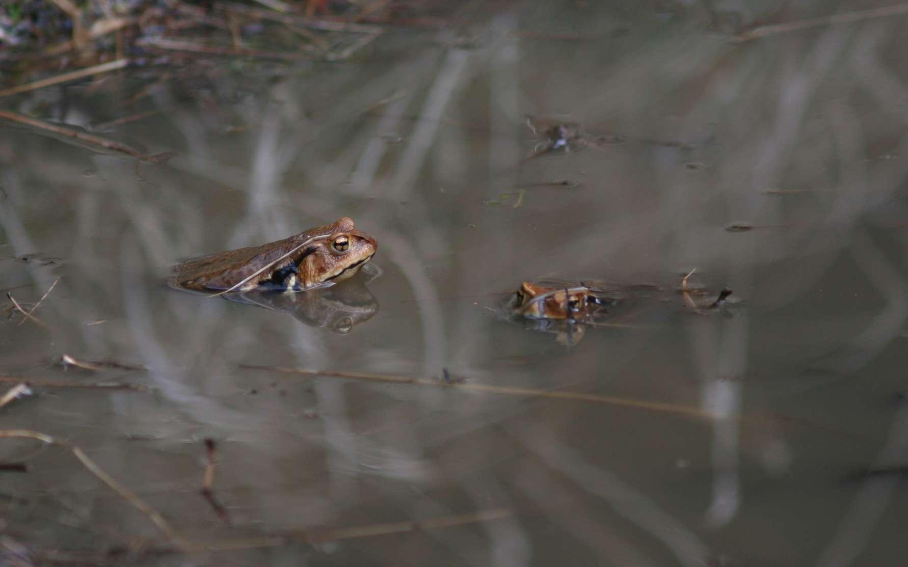 Le crapaud Bufo japonicus, une espèce endémique du Japon. © 裕司 安斉, fotolia