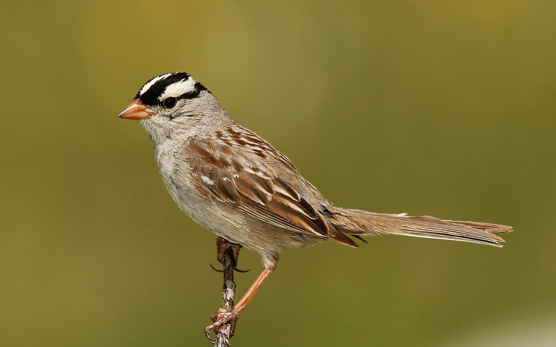 Le confinement a changé le chant de ces oiseaux