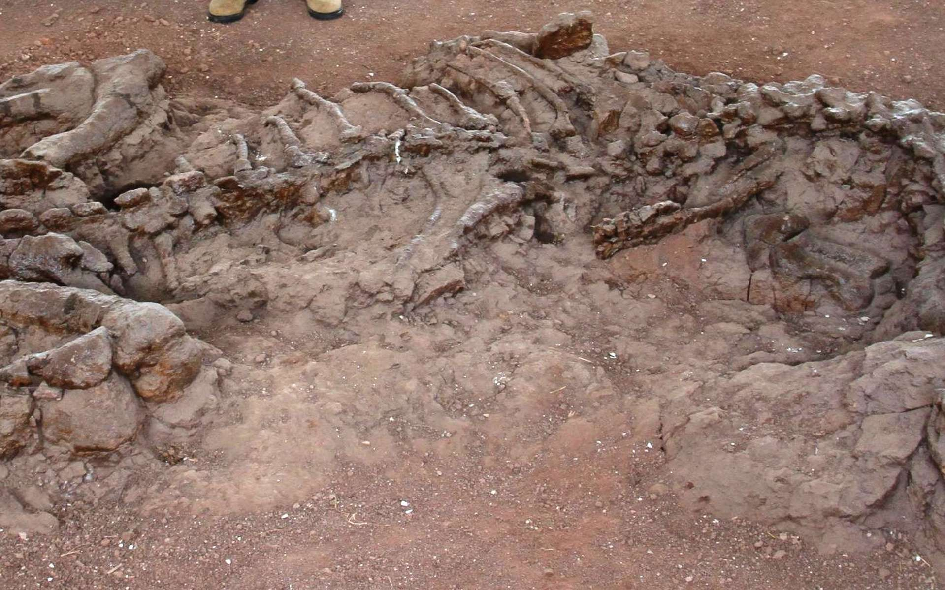 Les restes fossilisés vieux de 195 millions d'années d'un Lufengosaurus découvert dans la province du Yunnan en Chine. © Robert Reisz